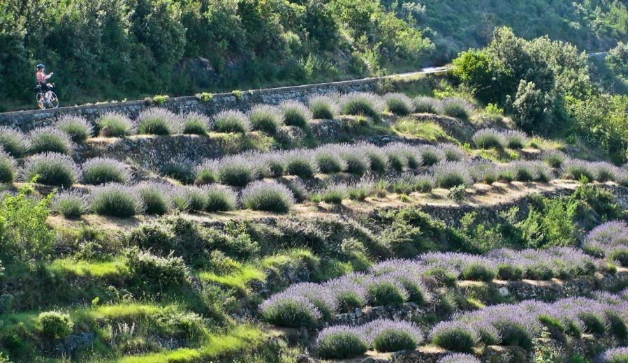 Lavender of Island Hvar